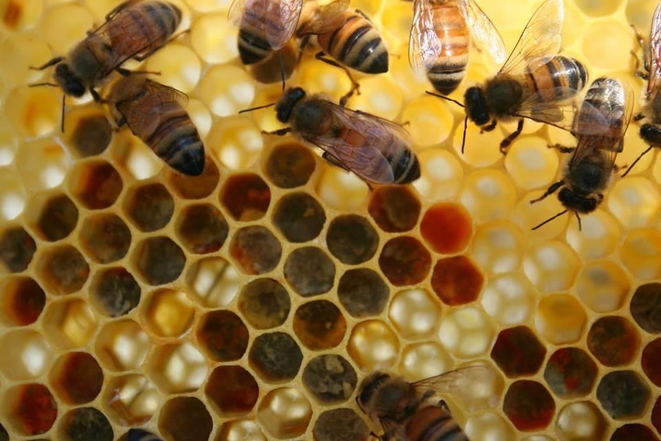 abeilles apisouest